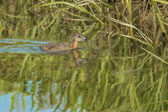 Clapper Rail Chick Stock Images