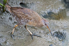 Clapper Rail with Crab stock photography