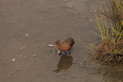 Clapper rail shorebird, Rallus longirostris Royalty Free Stock Photos