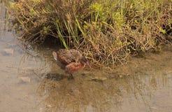 Clapper rail shorebird, Rallus longirostris stock image