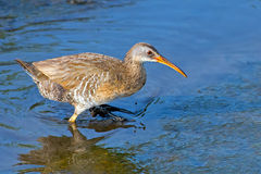 Clapper Rail. Walking through  muddy marsh Royalty Free Stock Photos