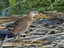 Clapper Rail Royalty Free Stock Photo