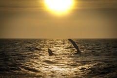 Claquement d'aileron de baleine de bosse image stock