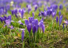 Clareira colorida da mola na vila Carpathian com campos de açafrões de florescência Imagens de Stock
