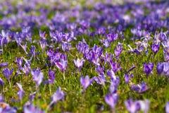 Clareira colorida da mola na vila Carpathian com campos de açafrões de florescência Imagem de Stock Royalty Free