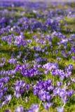 Clareira colorida da mola na vila Carpathian com campos de açafrões de florescência Imagens de Stock Royalty Free