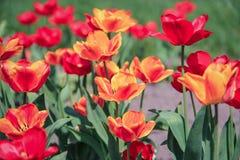 Clareira com as tulipas vermelhas e alaranjadas Imagem de Stock
