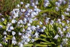 Clareira com snowdrops brancos na primavera Profundidade de campo rasa Imagem de Stock