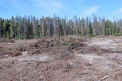 Clareira da floresta após o felling das árvores Foto de Stock Royalty Free