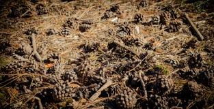 Clareira da floresta com cones do pinho Imagem de Stock Royalty Free