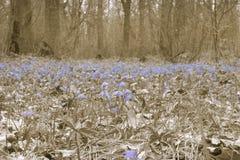 Clareira da floresta de flores dos jovens da mola Um tapete de Scilla Siberia Fotografia de Stock