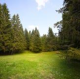 Clareira da grama na floresta spruce Imagens de Stock Royalty Free