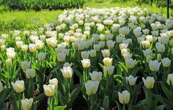 """Clareira da tulipa ² DO ¾ Ð DO ½ Ð DO ¿ аРDE ьРDO 'Ñ Ð° ½ Ð """" Ñ ÑŽÐ"""" DO ¾ Ð DE ПРFotografia de Stock"""