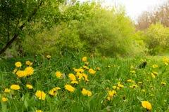 Clareira do dente-de-le?o da mola Muitas flores amarelas, grama e luz morna imagens de stock royalty free