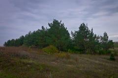 Clareira do outono na frente de uma floresta do pinho em um dia sombrio Imagens de Stock Royalty Free