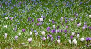 Clareira dos açafrões brancos e violetas Foto de Stock