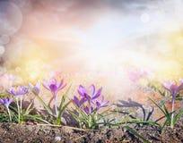 Clareira dos açafrões com luz solar e bokeh, fundo da natureza do sprigtime Imagem de Stock Royalty Free