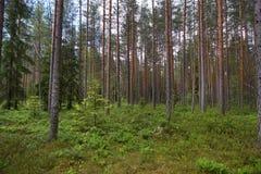 Clareira em uma floresta do pinho, muitas hortaliças na terra, troncos retos dos pinheiros, verão Imagens de Stock