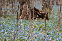 A clareira inteira de snowdrops azuis fotos de stock