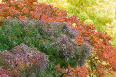 Claret ash tree in purple, green color during Autumn in Tasmania Stock Photo