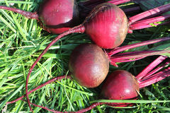 The claret beet lying on a grass Stock Photos
