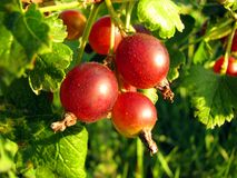 Claret berries Stock Photo