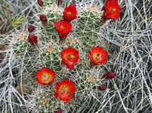 Claret Cup Royalty Free Stock Photo