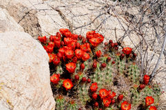 Claret Cup Cactus. Desert cluster of bright red Claret Cup Cactus blossoms royalty free stock photo