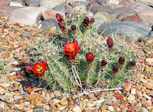 Claret-cup cactus Royalty Free Stock Photo