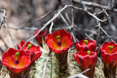 Claret cup cactus flowers stock image