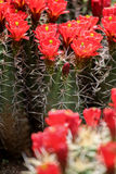 Claret-cup cactus flowers Stock Images