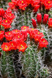 Claret-cup cactus flowers Royalty Free Stock Image