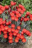 Claret-cup cactus flowers Stock Photos