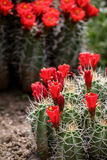 Claret-cup cactus flowers (Echinocereus triglochidiatus) Stock Photography