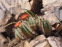 Claret-Cup Cactus Growing Amoung the Rocks Stock Photos