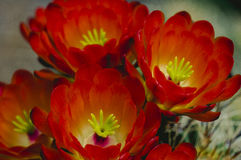 Claret Cup Hedgehog Red Desert Cactus Blooms Royalty Free Stock Photography