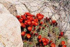 Claret de Cactus van de Kop royalty-vrije stock foto