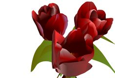 claret kwitnie trzy tulipanu Fotografia Stock