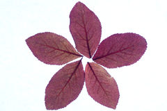 Claret leaves forming a star. Royalty Free Stock Photo
