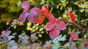 Claret red leaves in autumn. Claret red forest leaves in autumn Stock Photo