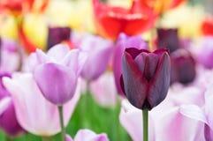 Claret red tulip Stock Image
