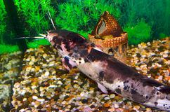 Clarias Angolan. Clarias or Clarius Angolan is a large predatory catfish, belonging to the Clarias family. Outwardly, it resembles a herringbone catfish, but in Stock Images