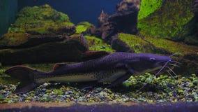 Clarias Gariepinus en el acuario en un estado fijo almacen de metraje de vídeo