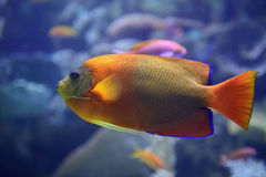 Clarion angelfish Stock Image