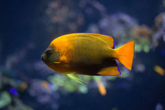 Clarion angelfish Holacanthus clarionensis. Royalty Free Stock Image