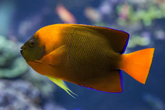 Clarion angelfish Holacanthus clarionensis. Royalty Free Stock Photography