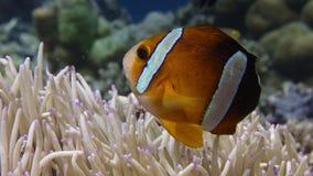 Clark's anemonefish双锯鱼clarkii偷看在它的主人银莲花属外面的,关闭  影视素材