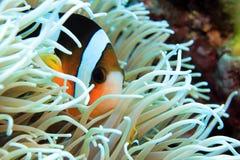 Clark's Anemonefish Στοκ φωτογραφία με δικαίωμα ελεύθερης χρήσης