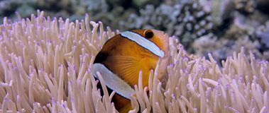 Clark's anemonefish Amphiprion clarkii peeking out of its host anemone, close up. Clark's anemonefish Amphiprion clarkii peeking out of its host anemone stock video