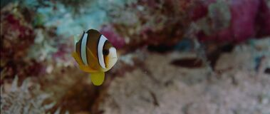 Clark's anemonefish Amphiprion clarkii peeking out of its host anemone, close up. Clark's anemonefish Amphiprion clarkii peeking out of its host anemone stock video footage